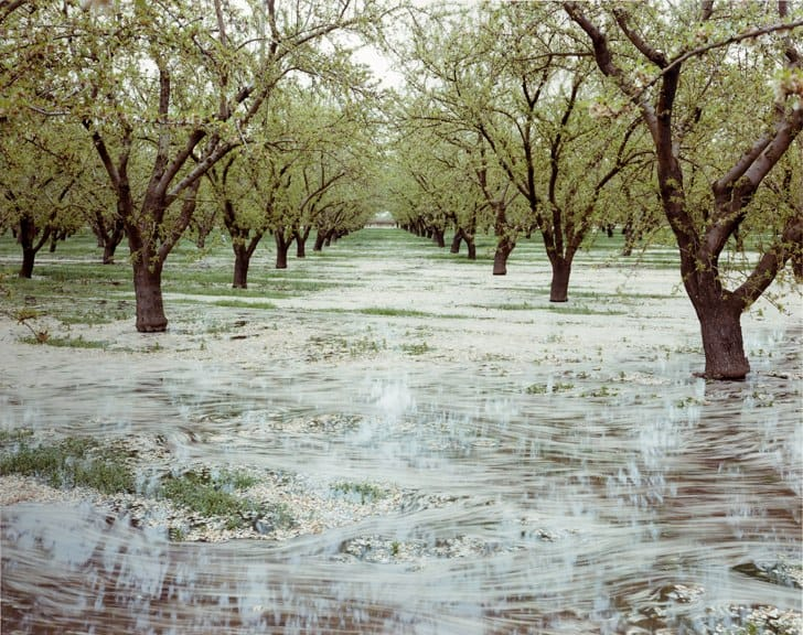 Almond Trees and Flood Irrigation, Oakdale, CA, 1999